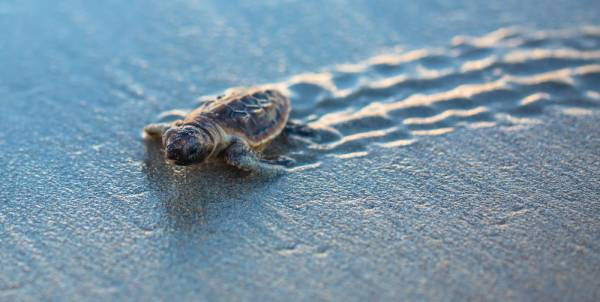 baby loggerhead turtle crawling along wet sand with tracks behind it